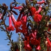 Kantuta - Cantua buxifolia  | Fotografijos autorius : Rasa Gražulevičiūtė | © Macrogamta.lt | Šis tinklapis priklauso bendruomenei kuri domisi makro fotografija ir fotografuoja gyvąjį makro pasaulį.