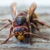 Širšuolas - Vespa crabro | Fotografijos autorius : Žilvinas Pūtys | © Macrogamta.lt | Šis tinklapis priklauso bendruomenei kuri domisi makro fotografija ir fotografuoja gyvąjį makro pasaulį.