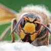 Širšuolas - Vespa crabro | Fotografijos autorius : Agnė Našlėnienė | © Macrogamta.lt | Šis tinklapis priklauso bendruomenei kuri domisi makro fotografija ir fotografuoja gyvąjį makro pasaulį.