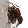 Šuolininkas - Pardosa sp. | Fotografijos autorius : Ramunė Činčikienė | © Macrogamta.lt | Šis tinklapis priklauso bendruomenei kuri domisi makro fotografija ir fotografuoja gyvąjį makro pasaulį.
