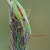 Žaliapilvė kampuotblakė - Myrmus miriformis ♀ | Fotografijos autorius : Gintautas Steiblys | © Macrogamta.lt | Šis tinklapis priklauso bendruomenei kuri domisi makro fotografija ir fotografuoja gyvąjį makro pasaulį.