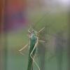 Žaliasis žiogas – Tettigonia viridissima   Fotografijos autorius : Agnė Našlėnienė   © Macrogamta.lt   Šis tinklapis priklauso bendruomenei kuri domisi makro fotografija ir fotografuoja gyvąjį makro pasaulį.