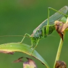 Žaliasis žiogas - Tettigonia viridissima   Fotografijos autorius : Romas Ferenca   © Macrogamta.lt   Šis tinklapis priklauso bendruomenei kuri domisi makro fotografija ir fotografuoja gyvąjį makro pasaulį.