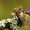 Žaliasis žvilgūnas - Diachrysia chrysitis | Fotografijos autorius : Vidas Brazauskas | © Macrogamta.lt | Šis tinklapis priklauso bendruomenei kuri domisi makro fotografija ir fotografuoja gyvąjį makro pasaulį.