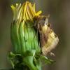 Žaliasis žvilgūnas - Diachrysia chrysitis | Fotografijos autorius : Žilvinas Pūtys | © Macrogamta.lt | Šis tinklapis priklauso bendruomenei kuri domisi makro fotografija ir fotografuoja gyvąjį makro pasaulį.