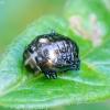 Žaliasis girinukas - Plagiosterna [=Linaeidea] aenea, lėliukė | Fotografijos autorius : Romas Ferenca | © Macrogamta.lt | Šis tinklapis priklauso bendruomenei kuri domisi makro fotografija ir fotografuoja gyvąjį makro pasaulį.