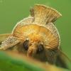 Žaliasis juostuotasis žvilgūnas - Diachrysia tutti (=stenochrysis) | Fotografijos autorius : Vidas Brazauskas | © Macrogamta.lt | Šis tinklapis priklauso bendruomenei kuri domisi makro fotografija ir fotografuoja gyvąjį makro pasaulį.