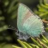 Žalsvasis varinukas - Callophrys rubi | Fotografijos autorius : Kazimieras Martinaitis | © Macrogamta.lt | Šis tinklapis priklauso bendruomenei kuri domisi makro fotografija ir fotografuoja gyvąjį makro pasaulį.
