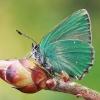 Žalsvasis varinukas - Callophrys rubi | Fotografijos autorius : Gintautas Steiblys | © Macrogamta.lt | Šis tinklapis priklauso bendruomenei kuri domisi makro fotografija ir fotografuoja gyvąjį makro pasaulį.