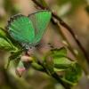 Žalsvasis varinukas - Callophrys rubi | Fotografijos autorius : Dalia Račkauskaitė | © Macrogamta.lt | Šis tinklapis priklauso bendruomenei kuri domisi makro fotografija ir fotografuoja gyvąjį makro pasaulį.