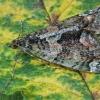 Žalsvoji cidarija - Chloroclysta siterata   Fotografijos autorius : Gintautas Steiblys   © Macrogamta.lt   Šis tinklapis priklauso bendruomenei kuri domisi makro fotografija ir fotografuoja gyvąjį makro pasaulį.