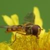Žiedmusė - Episyrphus balteatus | Fotografijos autorius : Vidas Brazauskas | © Macrogamta.lt | Šis tinklapis priklauso bendruomenei kuri domisi makro fotografija ir fotografuoja gyvąjį makro pasaulį.