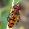 Žiedmusė - Episyrphus balteatus | Fotografijos autorius : Romas Ferenca | © Macrogamta.lt | Šis tinklapis priklauso bendruomenei kuri domisi makro fotografija ir fotografuoja gyvąjį makro pasaulį.