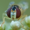 Žiedmusė - Sphaerophoria scripta ♀ | Fotografijos autorius : Žilvinas Pūtys | © Macrogamta.lt | Šis tinklapis priklauso bendruomenei kuri domisi makro fotografija ir fotografuoja gyvąjį makro pasaulį.