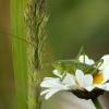 Žiogas - Orthoptera | Fotografijos autorius : Vidas Brazauskas | © Macrogamta.lt | Šis tinklapis priklauso bendruomenei kuri domisi makro fotografija ir fotografuoja gyvąjį makro pasaulį.