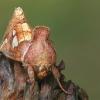 Žolinis žvilgūnas - Plusia putnami  | Fotografijos autorius : Gintautas Steiblys | © Macrogamta.lt | Šis tinklapis priklauso bendruomenei kuri domisi makro fotografija ir fotografuoja gyvąjį makro pasaulį.