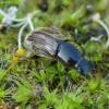 Afodijus - Melinopterus prodromus   Fotografijos autorius : Romas Ferenca   © Macrogamta.lt   Šis tinklapis priklauso bendruomenei kuri domisi makro fotografija ir fotografuoja gyvąjį makro pasaulį.