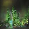 Aitrusis šilokas - Sedum acre | Fotografijos autorius : Vidas Brazauskas | © Macrogamta.lt | Šis tinklapis priklauso bendruomenei kuri domisi makro fotografija ir fotografuoja gyvąjį makro pasaulį.