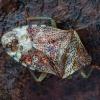 Alksninė skydblakė - Elasmucha grisea, ♂ | Fotografijos autorius : Žilvinas Pūtys | © Macrogamta.lt | Šis tinklapis priklauso bendruomenei kuri domisi makro fotografija ir fotografuoja gyvąjį makro pasaulį.