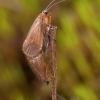 Apsiuva - Chaetopteryx villosa   Fotografijos autorius : Žilvinas Pūtys   © Macrogamta.lt   Šis tinklapis priklauso bendruomenei kuri domisi makro fotografija ir fotografuoja gyvąjį makro pasaulį.