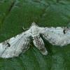 Baltasis sprindytis - Eupithecia centaureata   Fotografijos autorius : Gintautas Steiblys   © Macrogamta.lt   Šis tinklapis priklauso bendruomenei kuri domisi makro fotografija ir fotografuoja gyvąjį makro pasaulį.