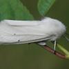 Baltoji meškutė - Spilosoma urticae | Fotografijos autorius : Gintautas Steiblys | © Macrogamta.lt | Šis tinklapis priklauso bendruomenei kuri domisi makro fotografija ir fotografuoja gyvąjį makro pasaulį.