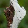 Baltoji meškutė - Spilosoma urticae | Fotografijos autorius : Žilvinas Pūtys | © Macrogamta.lt | Šis tinklapis priklauso bendruomenei kuri domisi makro fotografija ir fotografuoja gyvąjį makro pasaulį.