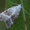 Baltoji nolija - Meganola albula   Fotografijos autorius : Gintautas Steiblys   © Macrogamta.lt   Šis tinklapis priklauso bendruomenei kuri domisi makro fotografija ir fotografuoja gyvąjį makro pasaulį.