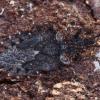 Beržinė žieviablakė - Aradus betulae, ♂   Fotografijos autorius : Žilvinas Pūtys   © Macrogamta.lt   Šis tinklapis priklauso bendruomenei kuri domisi makro fotografija ir fotografuoja gyvąjį makro pasaulį.