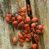 Blakės kareivėliai - Pyrrhocoris apterus | Fotografijos autorius : Vidas Brazauskas | © Macrogamta.lt | Šis tinklapis priklauso bendruomenei kuri domisi makro fotografija ir fotografuoja gyvąjį makro pasaulį.