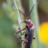 Cantharis rustica - Raudonkojis minkštavabalis | Fotografijos autorius : Žilvinas Pūtys | © Macrogamta.lt | Šis tinklapis priklauso bendruomenei kuri domisi makro fotografija ir fotografuoja gyvąjį makro pasaulį.