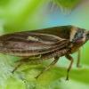 Cikadėlė - Aphrodes bicinctus    Fotografijos autorius : Žilvinas Pūtys   © Macrogamta.lt   Šis tinklapis priklauso bendruomenei kuri domisi makro fotografija ir fotografuoja gyvąjį makro pasaulį.