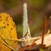 Citrinukas - Gonepteryx rhamni   Fotografijos autorius : Žilvinas Pūtys   © Macrogamta.lt   Šis tinklapis priklauso bendruomenei kuri domisi makro fotografija ir fotografuoja gyvąjį makro pasaulį.