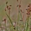 Daugiažiedis kiškiagrikis - Luzula multiflora   Fotografijos autorius : Kęstutis Obelevičius   © Macrogamta.lt   Šis tinklapis priklauso bendruomenei kuri domisi makro fotografija ir fotografuoja gyvąjį makro pasaulį.