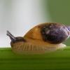 Didžioji gintarė - Succinea putris | Fotografijos autorius : Žilvinas Pūtys | © Macrogamta.lt | Šis tinklapis priklauso bendruomenei kuri domisi makro fotografija ir fotografuoja gyvąjį makro pasaulį.