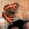 Dilgėlinukas - Aglais urticae | Fotografijos autorius : Ramunė Vakarė | © Macrogamta.lt | Šis tinklapis priklauso bendruomenei kuri domisi makro fotografija ir fotografuoja gyvąjį makro pasaulį.