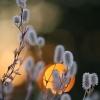 Dirvinis dobilas – Trifolium arvense | Fotografijos autorius : Agnė Našlėnienė | © Macrogamta.lt | Šis tinklapis priklauso bendruomenei kuri domisi makro fotografija ir fotografuoja gyvąjį makro pasaulį.
