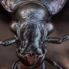 Dirvinis puošniažygis - Carabus arcensis | Fotografijos autorius : Žilvinas Pūtys | © Macrogamta.lt | Šis tinklapis priklauso bendruomenei kuri domisi makro fotografija ir fotografuoja gyvąjį makro pasaulį.