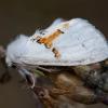 Dvispalvis kuoduotis - Leucodonta bicoloria   Fotografijos autorius : Žilvinas Pūtys   © Macrogamta.lt   Šis tinklapis priklauso bendruomenei kuri domisi makro fotografija ir fotografuoja gyvąjį makro pasaulį.