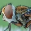Dygliamusė - Ectophasia crassipennis ♂ | Fotografijos autorius : Žilvinas Pūtys | © Macrogamta.lt | Šis tinklapis priklauso bendruomenei kuri domisi makro fotografija ir fotografuoja gyvąjį makro pasaulį.