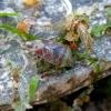 Alksninė skydblakė - Elasmucha grisea | Fotografijos autorius : Vitalii Alekseev | © Macrogamta.lt | Šis tinklapis priklauso bendruomenei kuri domisi makro fotografija ir fotografuoja gyvąjį makro pasaulį.