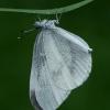 Garstytė - Leptidea sp.  | Fotografijos autorius : Gintautas Steiblys | © Macrogamta.lt | Šis tinklapis priklauso bendruomenei kuri domisi makro fotografija ir fotografuoja gyvąjį makro pasaulį.