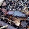 Gauražygis - Ophonus rupicola | Fotografijos autorius : Romas Ferenca | © Macrogamta.lt | Šis tinklapis priklauso bendruomenei kuri domisi makro fotografija ir fotografuoja gyvąjį makro pasaulį.