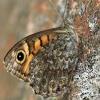 Gelsvamargis satyras - Lasiommata megera | Fotografijos autorius : Ramunė Vakarė | © Macrogamta.lt | Šis tinklapis priklauso bendruomenei kuri domisi makro fotografija ir fotografuoja gyvąjį makro pasaulį.