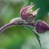 Gelsvoji meškutė - Spilosoma lutea, vikšras | Fotografijos autorius : Žilvinas Pūtys | © Macrogamta.lt | Šis tinklapis priklauso bendruomenei kuri domisi makro fotografija ir fotografuoja gyvąjį makro pasaulį.