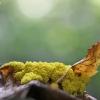 Geltonasis fuligas - Fuligo septica | Fotografijos autorius : Agnė Našlėnienė | © Macrogamta.lt | Šis tinklapis priklauso bendruomenei kuri domisi makro fotografija ir fotografuoja gyvąjį makro pasaulį.