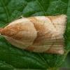 Geltonasis klepsis - Clepsis rurinana | Fotografijos autorius : Žilvinas Pūtys | © Macrogamta.lt | Šis tinklapis priklauso bendruomenei kuri domisi makro fotografija ir fotografuoja gyvąjį makro pasaulį.