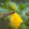 Geltonoji ilgaūsė makštinė kandis - Nematopogon swammerdamella   Fotografijos autorius : Žilvinas Pūtys   © Macrogamta.lt   Šis tinklapis priklauso bendruomenei kuri domisi makro fotografija ir fotografuoja gyvąjį makro pasaulį.