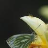 Griežtinis baltukas - Pieris napi | Fotografijos autorius : Vidas Brazauskas | © Macrogamta.lt | Šis tinklapis priklauso bendruomenei kuri domisi makro fotografija ir fotografuoja gyvąjį makro pasaulį.