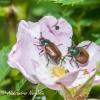 Grikinukas (Phyllopertha horticola) | Fotografijos autorius : Aleksandras Naryškin | © Macrogamta.lt | Šis tinklapis priklauso bendruomenei kuri domisi makro fotografija ir fotografuoja gyvąjį makro pasaulį.